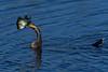 Anhinga-Fish-LAWD-3-29-19-SJS-001