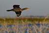 CrestedCormorant-LAWD-1-21-19-SJS-003