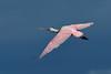 RoseateSpoonbill-MerrittIslandNWR-12-29-20-sjs-005