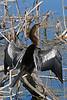Anhinga(male)-LAWD-3-23-18-SJS-003