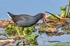 CommonGallinule-EmeraldaMarsh-2-27-19-SJS-001