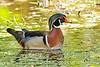 WoodDuck(male)-MeadGardens-4-22-20-SJS-003