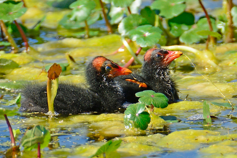 CommonGallinule-LAWD-FL-3-20-17-SJS-004