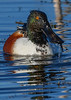 NorthernShoveler(male)-LAWD-1-25-19-SJS-003