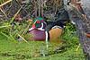 WoodDuck(male)-AlligatorRiverNWR-10-23-20-sjs-02
