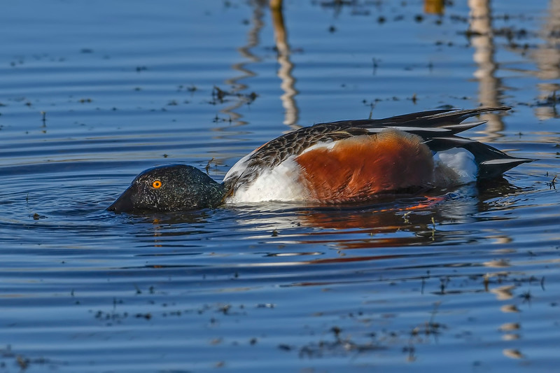 NorthernShoveler(male)-LAWD-1-25-19-SJS-002