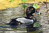 Ring-neckedDuck-LAWD-3-2-18-SJS-003