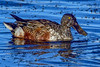 NorthernShoveler-LAWD-1-21-19-SJS-004