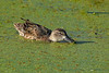 BlueWingedTeal(female)-11-11-19--SJS-001