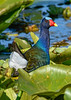 PurpleGallinule-EmeraldaMarsh-4-7-20-SJS-001