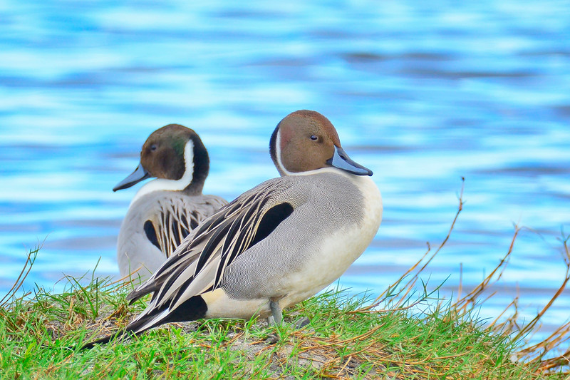 NorthernPintail-MerrittIslandNWR-FL-1-10-17-SJS-13