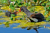 CommonGallinule-LAWD-FL-3-20-17-SJS-001