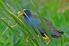 PurpleGallinule-LAWD-4-15-18-SJS-002