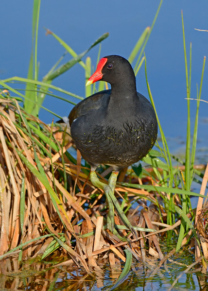 CommonGallinule-LAWD-FL-2-20-17-SJS-001