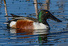 NorthernShoveler(male)-LAWD-1-25-19-SJS-004