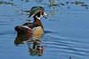 WoodDuck(male)-EmeraldaMarsh-5-1-20-SJS-007