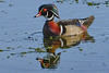 WoodDuck(male)-EmeraldaMarsh-5-1-20-SJS-004
