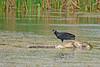 BlackVulture&Alligator-LAWD-ClayIslandFL-1-22-17-SJS-01