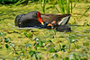 CommonGallinule-LAWD-FL-3-20-17-SJS-005
