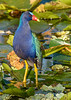 PurpleGallinule-EmeraldaMarsh-5-15-20-SJS-02