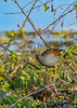 CommonGallinule-EmeraldaMarsh-1-29-20-SJS-002