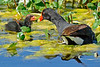 CommonGallinule-LAWD-FL-3-20-17-SJS-002
