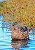 NorthernShoveler-MerrittIslandNWR-FL-1-10-17-SJS-17
