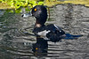 Ring-neckedDuck-LAWD-3-2-18-SJS-001