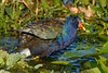 PurpleGallinule-EmeraldaMarsh-5-22-20-SJS-03