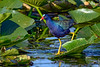 PurpleGallinule-EmeraldaMarsh-3-28-20-SJS-002