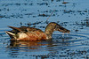 NorthernShoveler-LAWD-1-21-19-SJS-002
