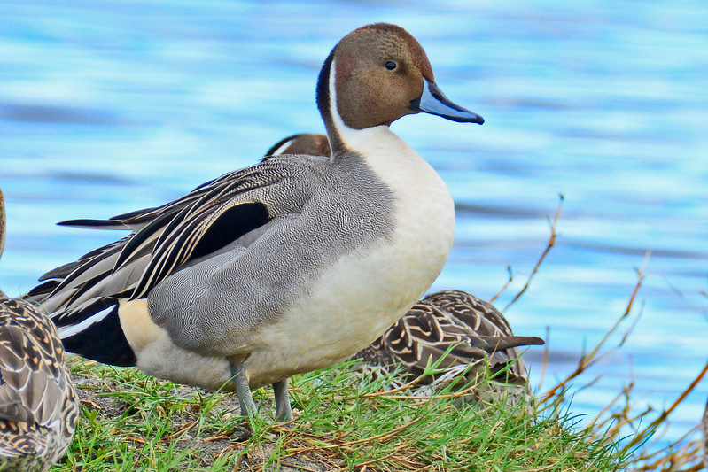 NorthernPintail-MerrittIslandNWR-FL-1-10-17-SJS-08