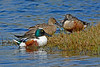 NorthernShoveler-MerrittIslandNWR-FL-1-10-17-SJS-10
