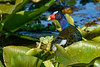 PurpleGallinule-EmeraldaMarsh-4-7-20-SJS-002