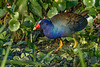 PurpleGallinule-EmeraldaMarsh-3-29-19-SJS-001