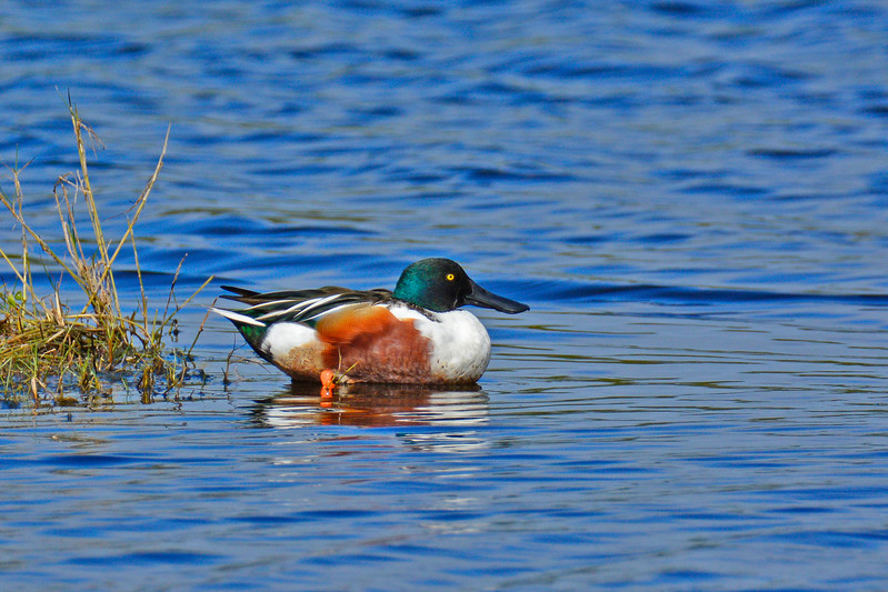 NorthernShoveler-MerrittIslandNWR-FL-1-10-17-SJS-04