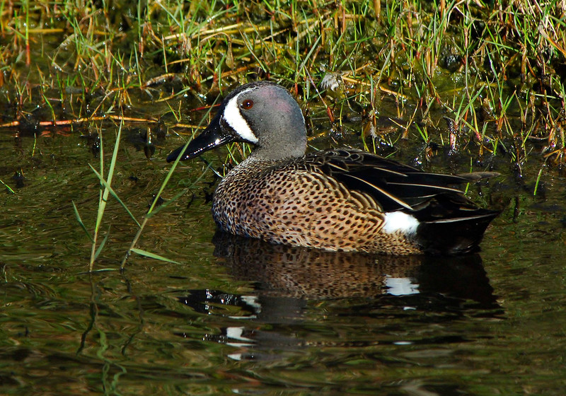 Blue-wingedTeal-05
