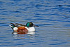 NorthernShoveler-MerrittIslandNWR-FL-1-10-17-SJS-07