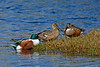 NorthernShoveler-MerrittIslandNWR-FL-1-10-17-SJS-09