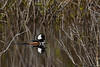 HoodedMerganser-HiddenWaters-12-6-20-sjs-001
