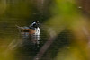 HoodedMerganser-HiddenWaters-12-6-20-sjs-006