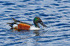 NorthernShoveler-MerrittIslandNWR-2-18-19-SJS-002
