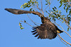 BaldEagle(immature)-NewtonPark-3-15-20-SJS-008