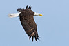 BaldEagle(adult)-LAWD-4-15-18-SJS-004
