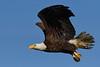 BaldEagle-LAWD-ClayIsland-1-9-19-SJS-007