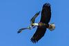 BaldEagle&Osprey-McDonaldCanalFL-12-14-19-SJS-010