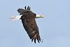 BaldEagle(adult)-LAWD-4-15-18-SJS-002