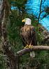 AmericanBaldEagle-LakeDoraFL-3-27-17-SJS-004