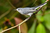 BlueGrayGnatcatcher-BourlayNatureParkFL-10-15-19-SJS-007