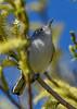 BlueGrayGnatcatcher-LAWD-1-25-19-SJS-003